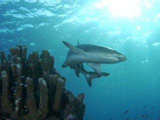 White tip reef shark - Diving in Maldives at North Male Atoll - photo courtesy of ScubaZoo