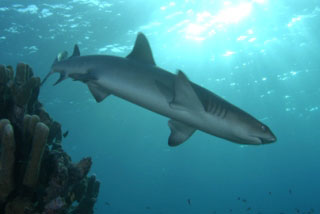 White-tip reef sharks frequent the Taveuni dive sites at the Fiji Islands - photo courtesy of ScubaZoo