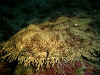 Tasselled wobbegong in Raja Ampat - photo courtesy of Toon van Meel
