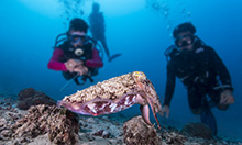 Diving with cuttlefish - among the reef's most intelligent residents