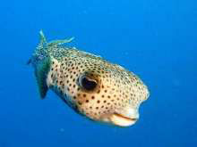 Common porcupinefish in Layang Layang, Malaysia - photo courtesy of Igor Nefedov