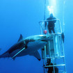 Thrilling great white shark cage diving off Guadalupe Island