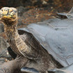 Get up close with giant Galapagos tortoises
