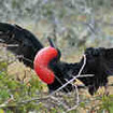 The male Frigate bird inflates it's gular pouch to attract the ladies
