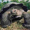 The endangered giant Galapagos tortoise