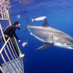 Thrilling Guadalupe Island cage diving from the Sea Escape liveaboard