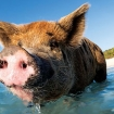 Share the water with the famous Bahamas pigs on your safari!
