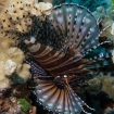 Look out for lionfish when diving from Reef Endeavour