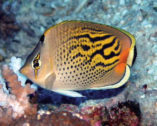 Diving the great barrier reef cod hole and ribbon reefs for Great barrier reef fish