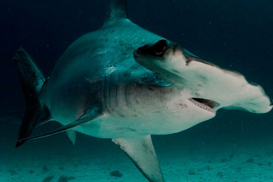 Diving with Scalloped Hammerheads   Dive The World