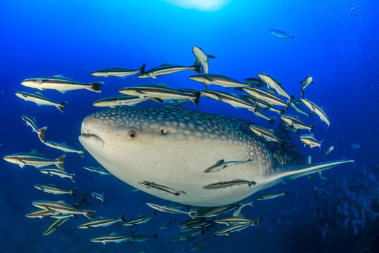 Diving with whale sharks dive the world creature features for How to shark fish