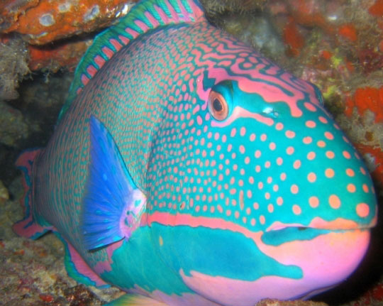Taveuni dive resorts accommodation options and travel for Parrot fish facts