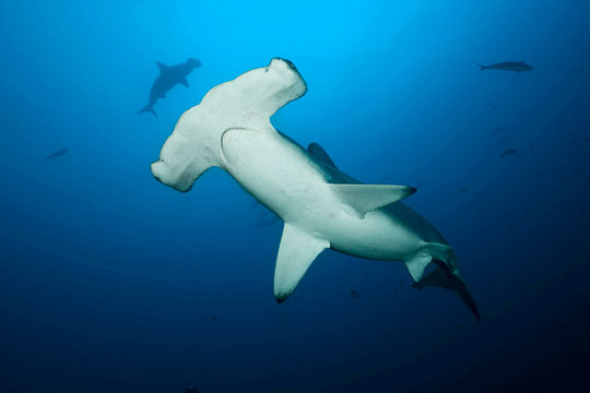 Diving with Scalloped Hammerheads   Dive The World ...