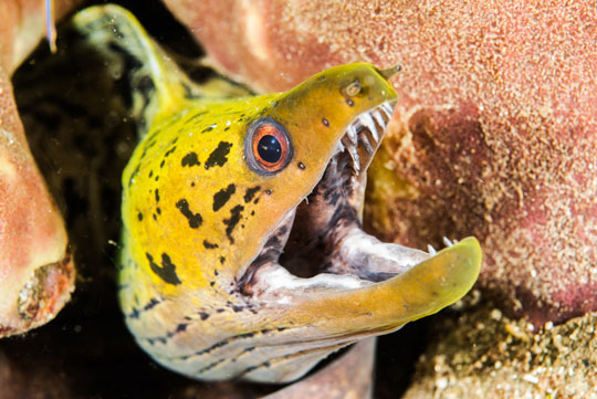 Chain Moray Eel | Creature Feature Diving With Moray Eels