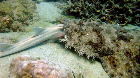 Indonesia Tasselled Wobbegong Eating A Bamboo Shark