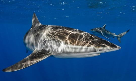 Silky Sharks In The Cuban Sunlight
