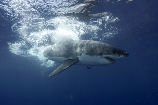 A Great White Shark Guadalupe Island