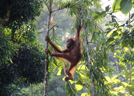 The Orangutan&#39-s Forest | The Nature Conservancy