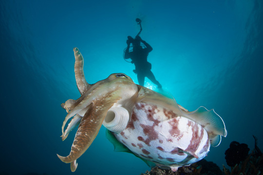 Creature Feature - Diving with Cuttlefish
