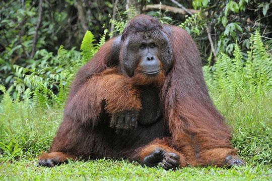the orangutan of borneo