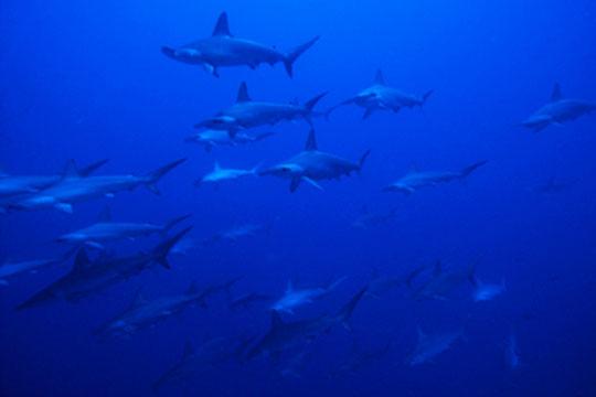 Hammerhead Sharks At Rasdhoo Atoll