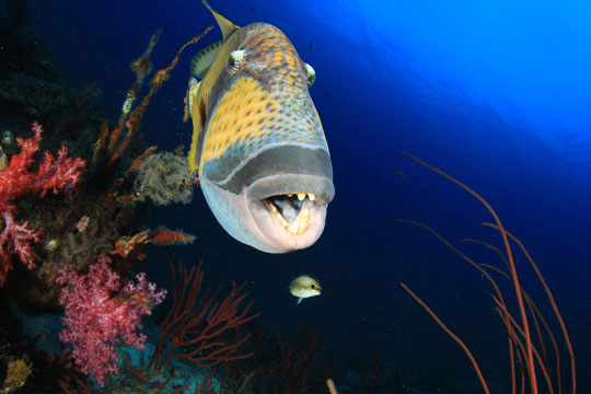 diving with titan triggerfish dive the world creature features