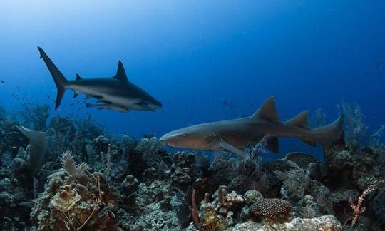 Different Sharks Species Live In Jardines De La Reina