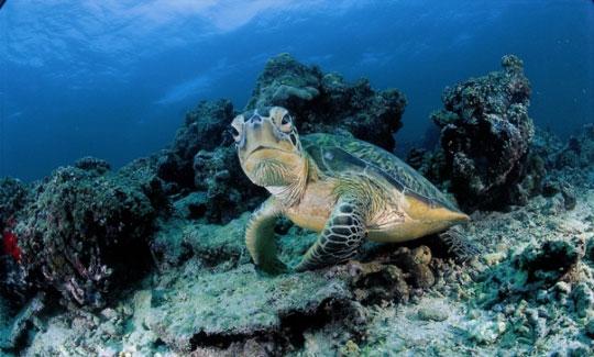 See Turtles In The Sipadan Island