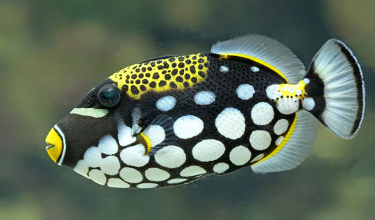 Diving With Clown Triggerfish Dive The World Creature