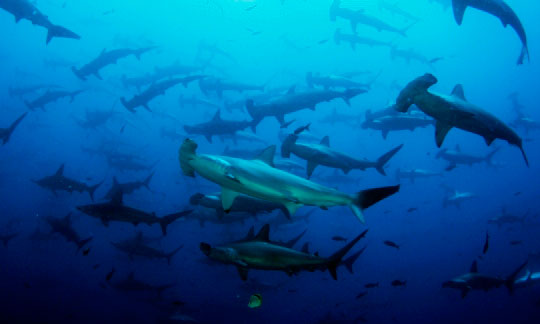 Scuba Diving at Cocos Island, Costa Rica | Dive The World Vacations