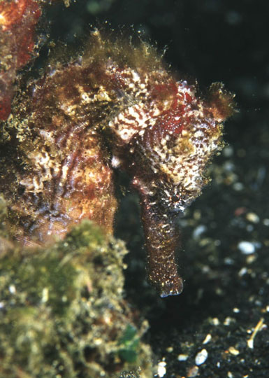 Diving with Seahorses   Dive The World Creature Features