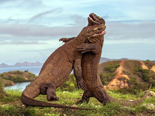 the komodo dragon dive the world creature features