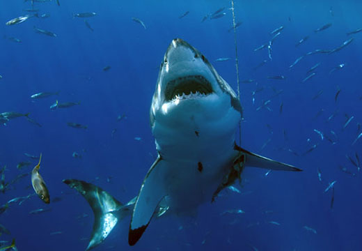 Carcharodon Carcharias A Great White Shark Strikes For Kill Cage