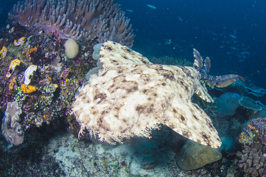 The Ambush Predator Wobbegong Shark In Raja Ampat