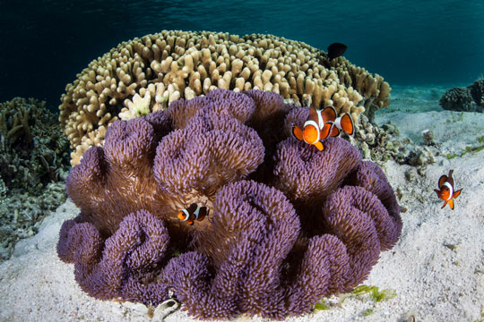 Diving with clownfish dive the world creature features for Clown fish habitat
