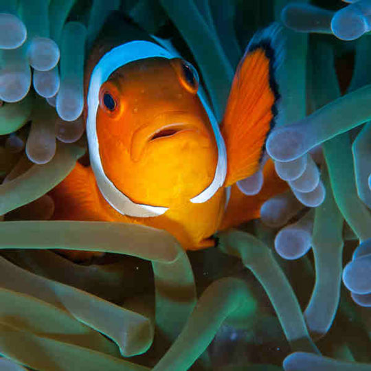 Diving with clownfish dive the world creature features for What do clown fish eat