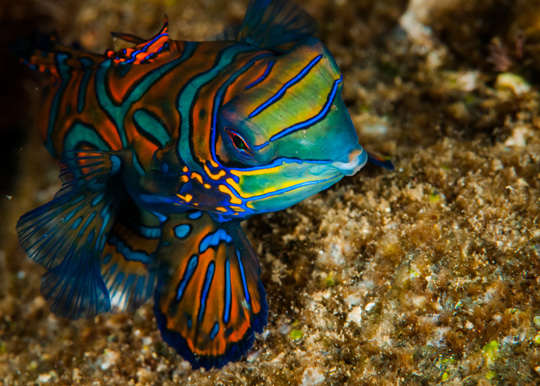Creature Feature - Diving with Mandarinfish