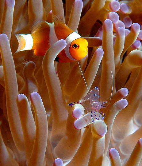 Clownfish Creature Feature - Diving with Anemonefish