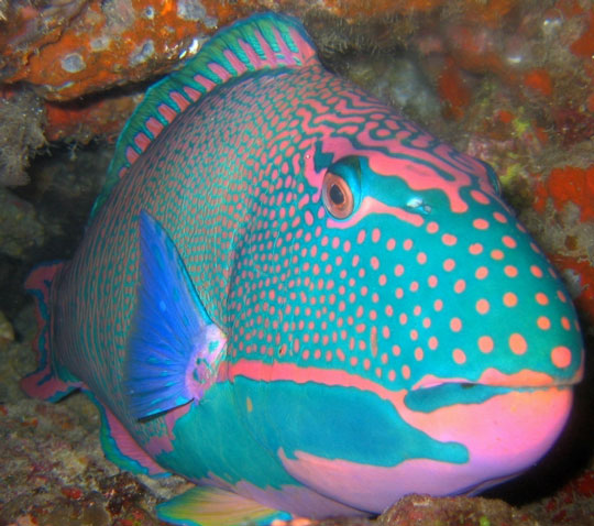 Scuba diving in fiji islands dive the world vacations for Blue parrot fish