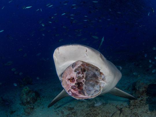 Fiji Island Diving Resorts