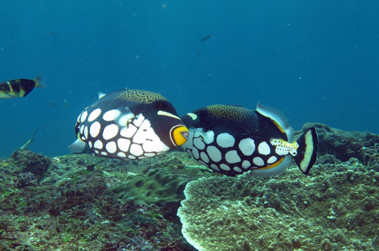 diving with clown triggerfish dive the world creature features