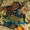 Scuba diving with mandarinfish in the Banda Islands, Indonesia