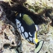 Clown triggerfish at Similan national park in Thailand