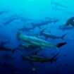 School of hammerheads at Dos Amigos Grande
