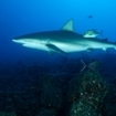 A silky shark at Socorro