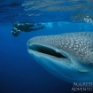 Whale sharks are the start attraction of diving in Honduras