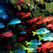 Schools of soldierfish and snapper - Cocos Island