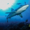 A grey reef shark in Wakaya