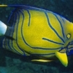 Blue-ringed angelfish are seen when diving in Krabi