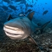 A bull shark shows its teeth at Fiji's Shark Reef